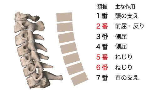 頚椎1番~7番